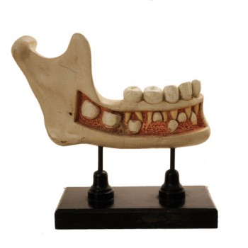 lower jaw model - van Leest Antiques (2)