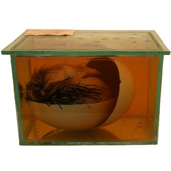 Fluid Specimen Ostrich egg with Chick - van Leest Antiques (2)