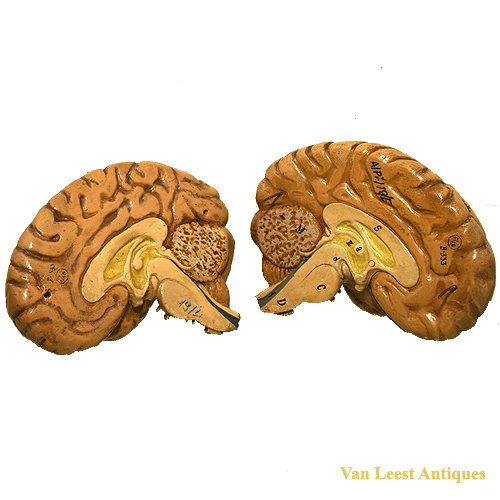 Anatomical brain model - van Leest Antiques (3)