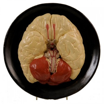 143Bock Steger Brain model - van Leest Antiques (3)