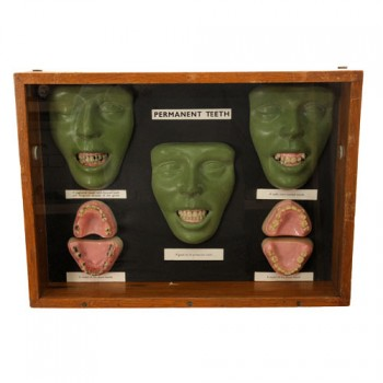 153Permanent Teeth wax models - van Leest Antiques (1)