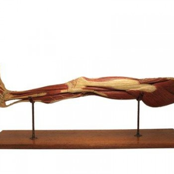 155Anatomical leg model B&S