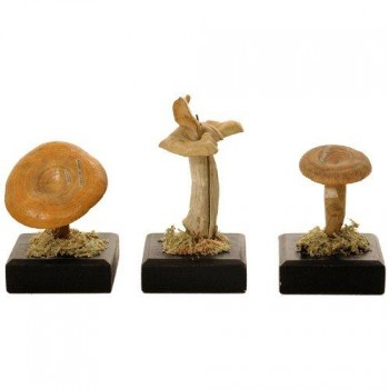 167Auzoux fungi models set3 Van Leest Antiques