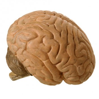 26Brain model two parts - Van Leest Antiques (4)