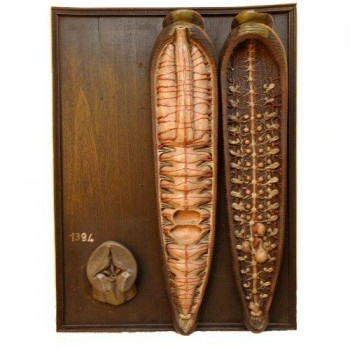 42Leech anatomical model