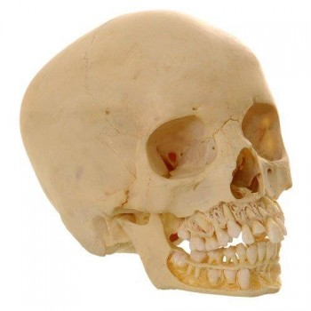 Child skull  van Leest Antiques (1)
