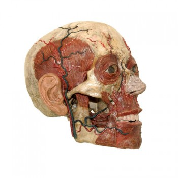 Anatomic models