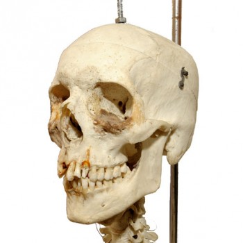 Human skeleton - van Leest Antiques (2)