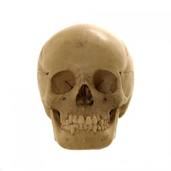 Human skull Dental university Utrecht- van Leest Antiques (1)