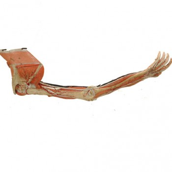 Auzoux Model Hand-Arm - Van Leest Antiques (3)