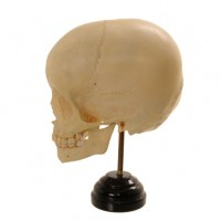 Child Skull 6 years - van Leest Antiques (2)
