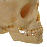 Child Skull 6 years - van Leest Antiques (3)
