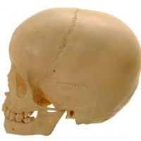 Child Skull 6 years - van Leest Antiques (4)