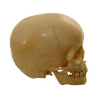 Child Skull 6 years - van Leest Antiques (5)