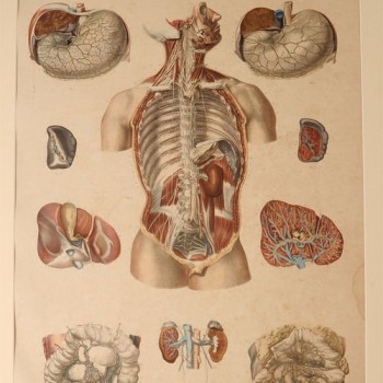 Bourgery & Jacobs Anatomical plate 19 - van Leest Antiques (1)