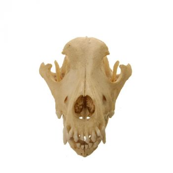 Dog Skull - van leest antiques (3)