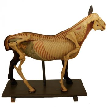 Anatomical horse model - van Leest Antiques (0)
