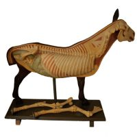Anatomical horse model - van Leest Antiques (1)