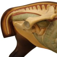 Anatomical horse model - van Leest Antiques (4)