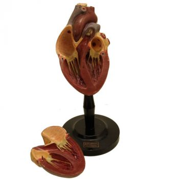 Merkelbach Anatomical heart model - van Leest Antiques (5)