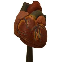 Anat. somso heart model 250416 d - van Leest Antiques (3)