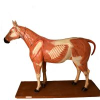 Anatomical horse model Somso - van Leest Antiques (0)