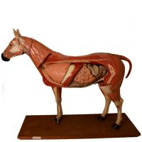 Anatomical horse model Somso - van Leest Antiques (1)