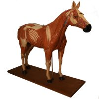 Anatomical horse model Somso - van Leest Antiques (4)
