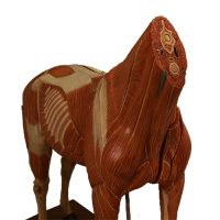 Anatomical horse model Somso - van Leest Antiques (5)