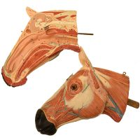 Anatomical horse model Somso - van Leest Antiques (7)