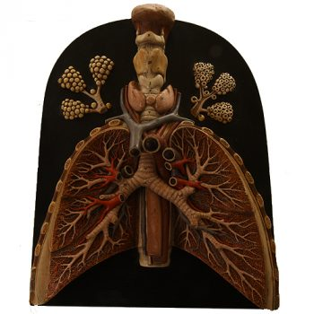 Bock Steger lung heart model - van Leest Antiques (1)