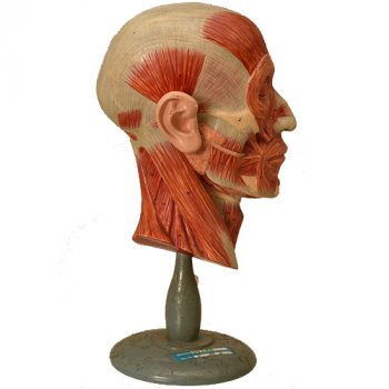 Anatomical human half head model Somso - van Leest ANtiques (1)