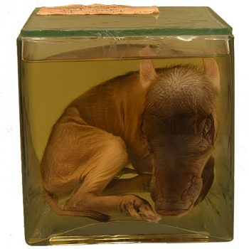 Common warthog fetus - van Leest Antiquesjpg (1)