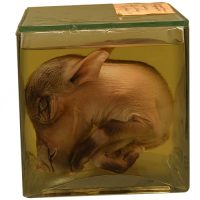 Common warthog fetus - van Leest Antiquesjpg (2)