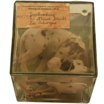 Jacob Sheep fetus - van Leest Antiques (1)