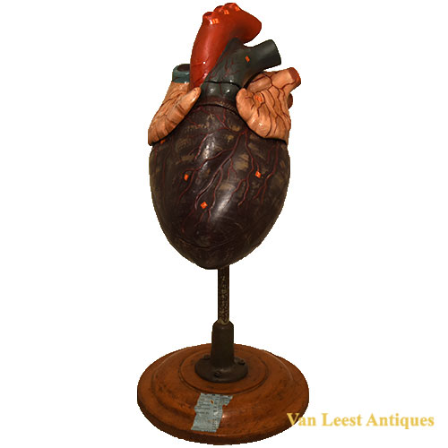 Anatomical heart model Italian - van Leest Antiques (1)
