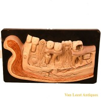 Bock Steger lower jaw model - van Leest Antiques (1)