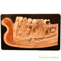 Bock Steger lower jaw model - van Leest Antiques (2)