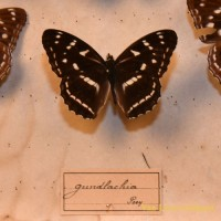 Gundlach ia Poey Butterfly display 2 - van Leest Antiques (2)