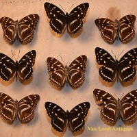 Gundlach ia Poey Butterfly display 2 - van Leest Antiques (3)