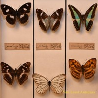 Taxidermist Butterfly box 1 - van Leest Antiques (2)