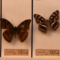 Taxidermist Butterfly box 1 - van Leest Antiques (3)