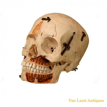 medical human skull - van Leest antiques (1)