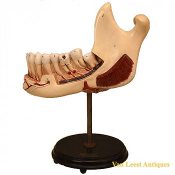 Anat. dental lower jaw model - van Leest Antiques (1)