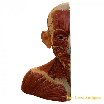 anatomical half head model - van Leest Antiques (1)