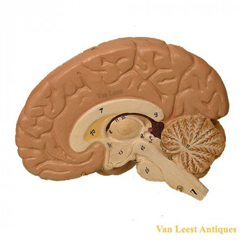 Anatomical brain model (half)  - van Leest antiques (3)