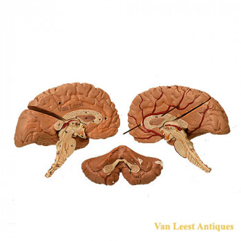 Anatomical brain model - van Leest Antiques (4)